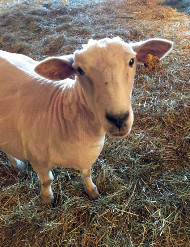 Dagmar, after shearing